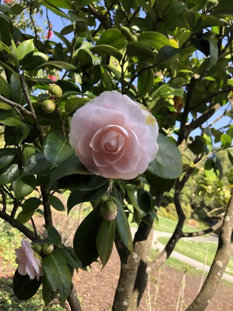 Pink camellia blooming