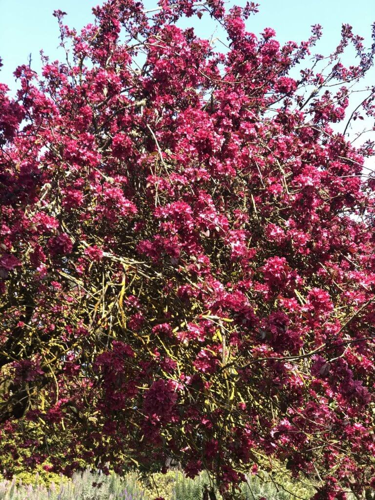 A large bush with fuchsia flowers